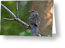 Female Red Winged Blackbird Greeting Card