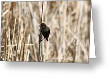 Female Red Winged Blackbird On Marsh Reeds Greeting Card