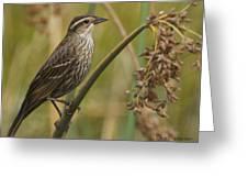 Female Redwing Blackbird Greeting Card