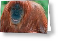 Female Sumatran Orangutan Greeting Card
