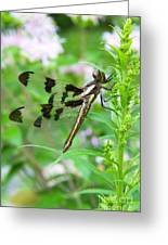 Female Twelve-spotted Skimmer Greeting Card
