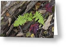 Fern And Maple Leaves Maine Img 6182 Greeting Card