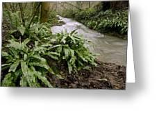 Ferns (asplenium Scolopendrium) Greeting Card