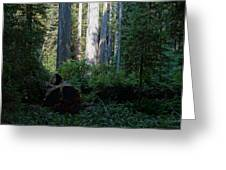 Ferns Of The Redwood Forest Greeting Card