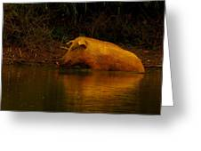 Ferrell Hog At Sunrise Greeting Card