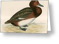 Ferruginous Duck Greeting Card