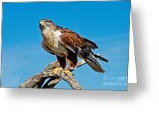 Ferruginous Hawk About To Take Greeting Card
