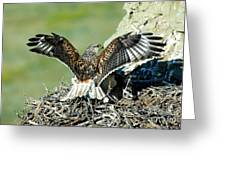 Ferruginous Hawk Male At Nest Greeting Card