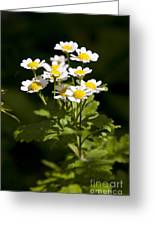 Feverfew Greeting Card