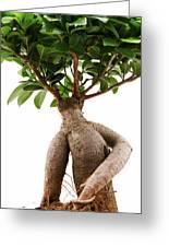 Ficus Ginseng Greeting Card
