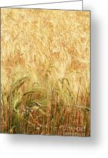Field Of Gold - 3 Greeting Card