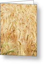 Field Of Gold - 4 Greeting Card