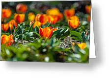 Field Of Orange Tulips Greeting Card