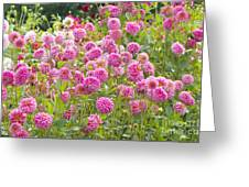 Field Of Pink Dahlias Greeting Card
