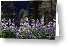 Field Of Summer Wildflowers Backlit Lupine  Greeting Card