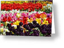Field Of Tulips Ll Greeting Card