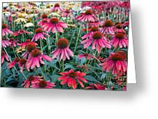 Fields Of Coneflower Greeting Card
