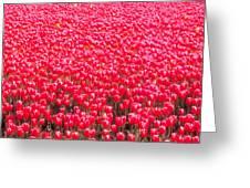 Fields Of Tulips Alkmaar Vicinity Greeting Card