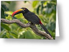Fiery Tailed Aracari Toucan Out On A Limb Greeting Card