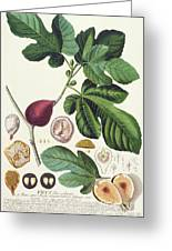 Fig Engraved By Johann Jakob Haid  Greeting Card