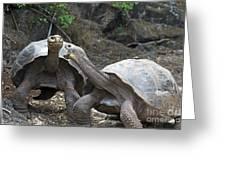 Fighting Galapagos Giant Tortoises Greeting Card