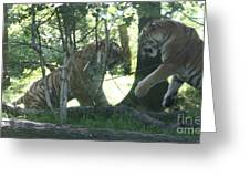 Fighting Siberian Tigers Greeting Card