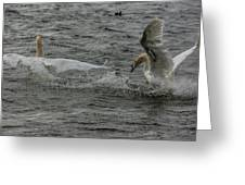 Fighting Swans Greeting Card