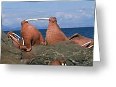 Fighting Walrus Greeting Card
