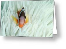 Fiji Anemone Fish (amphiprion Barberi Greeting Card