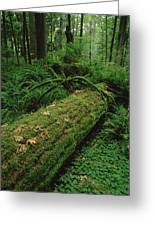 Fir Nurse Log In Rainforest Pacific Greeting Card