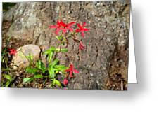 Fire Pinks Greeting Card