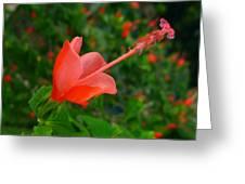 Firecraker Hibiscus Flower Greeting Card