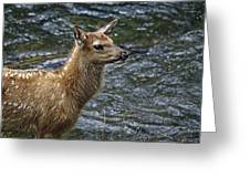 Firehole River Elk Fawn Greeting Card