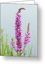 Fireweed In Mist Greeting Card