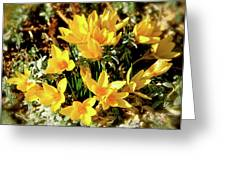 First Crocus Serenade Greeting Card