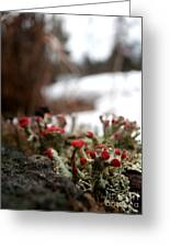First Lichen Blossom Of The Year Greeting Card by Steven Valkenberg