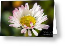 First Spring Daisy Greeting Card