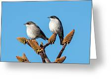 Fiscal Flycatcher Pair Greeting Card