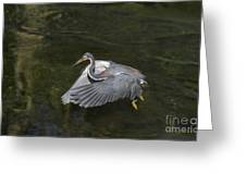 Fishing Tri Colored Heron Greeting Card