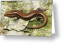 Five-lined Skink Greeting Card