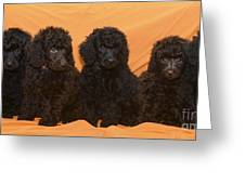 Five Poodle Puppies  Greeting Card