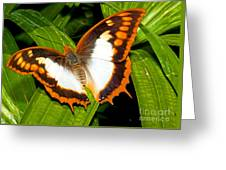 Flame Bordered Charaxes Butterfly Greeting Card