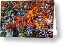 Flaming Maple Beneath The Pines Greeting Card