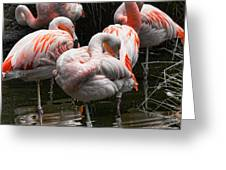 Flamingo 5 Greeting Card