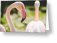 Flamingo Bird Portrait. Greeting Card