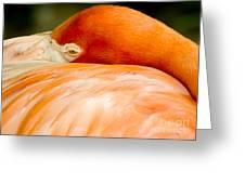 Flamingo Napping Greeting Card