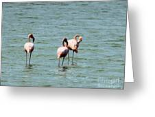 Flamingos Gathering Together Greeting Card