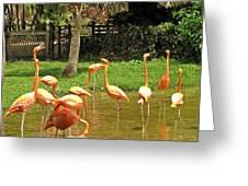 Flamingos Wading Greeting Card