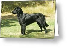 Flat-coated Retriever Dog Greeting Card
