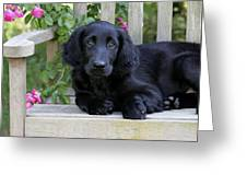 Flat-coated Retriever Puppy Greeting Card